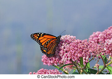 Monarch Butterfly (Danaus plexippus) on Swamp Milkweed Wildflower