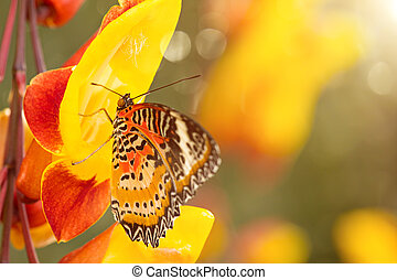 Monarch butterfly (Danaus plexippus) on thunbergia mysorensis.