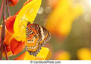 Monarch butterfly (Danaus plexippus) on thunbergia mysorensis.