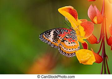 Monarch butterfly (Danaus plexippus) on thunbergia...