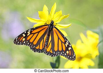 Monarch Butterfly (danaus plexippus) on Woodland Sunflowers...
