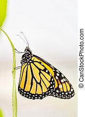 Monarch butterfly (Danaus plexippus