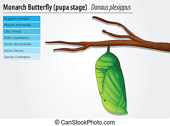 Monarch butterfly - Danaus plexippus - pupa stage -...