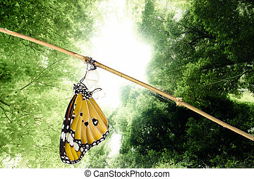 Monarch butterfly emerging from its chrysalis, in nature ...