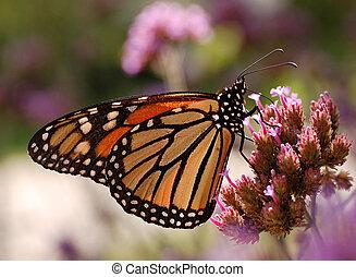 Monarch Butterfly Feeding - A Monarch Butterfly (Danaus...