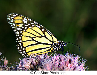 Monarch butterfly feeding on pink flower