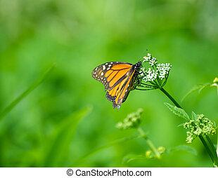 Monarch butterfly feeding.