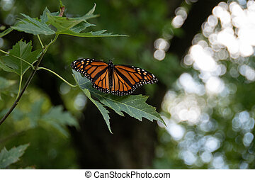 Monarch Butterfly female on tree with wings spread