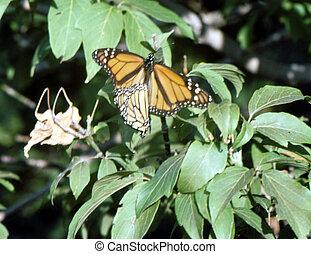 Monarch Butterfly H-157 - The monarch (Danaus plexippus) is...