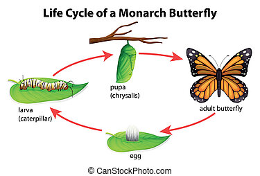 Monarch Butterfly - Illustration showing the Life Cycle of...