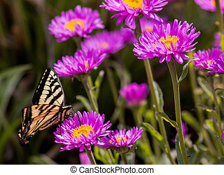 monarch butterfly in daisies.