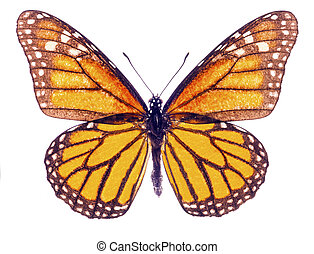 Monarch butterfly isolated