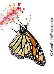 Monarch Butterfly - Isolated monarch butterfly on white