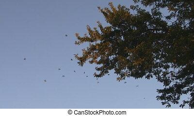 Monarch Butterfly Migration - Monarch Butterflies flying...