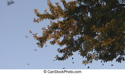 Monarch Butterfly Migration - Monarch Butterflies hover...