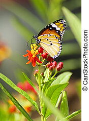 Monarch Butterfly, Milkweed Mania