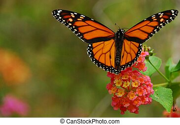 Monarch Butterfly - Monarch butterfly feeding on a lantana ...
