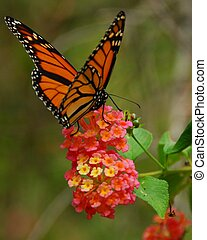 Monarch butterfly feeding on a lantana flower