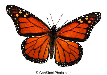 Monarch butterfly isolated on white, clipping path