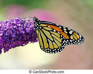Monarch butterfly on a purple flower