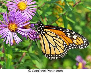 Monarch butterfly on a purple wild aster