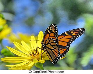 Monarch butterfly on a Yellow Ragwort flower