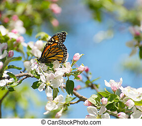 Monarch butterfly on apple blossoms