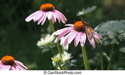 Monarch Butterfly on Cone flower - Monarch feeds on nectar...