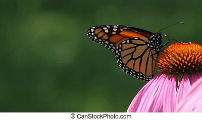 Monarch feeds on nectar of an indigineous cone flower in a summer garden in Ontario Canada