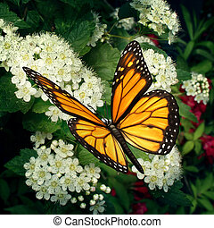 Butterfly on flowers as a monarch pollinator on white blooming outdoor plant pollinating and feeding off the flower nectar moving pollen in a natural function as a symbol of nature and healthy environment.