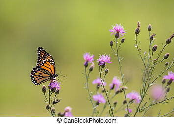 Monarch Butterfly on flowers in the meadow