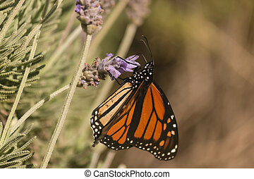 Monarch butterfly on lavender