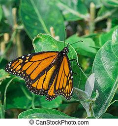 Monarch Butterfly on Leaf - A macro of a monarch butterfly...