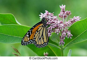 Monarch Butterfly on Milkweed blloom.