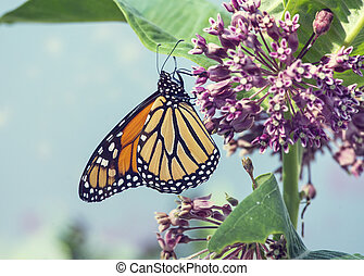 Monarch butterfly  on pink swamp milkweed flowers
