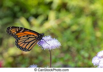 Monarch Butterfly on Purple Flower