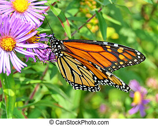 Monarch butterfly on purple wild aster