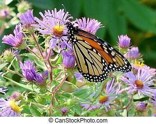 Monarch butterfly on purple wild asters