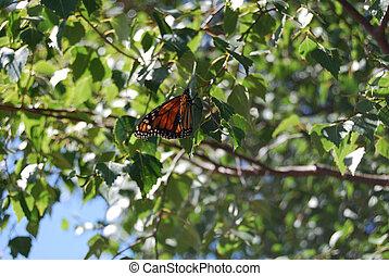 Monarch Butterfly on Silver Birch Tree