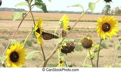 Monarch Butterfly on Sunflower Flies Away