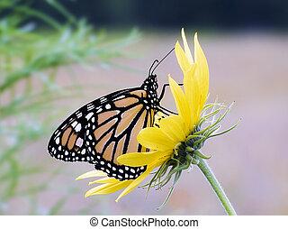 Monarch Butterfly on Sunflower - Monarch Butterfly on a...