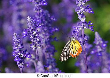 Monarch Butterfly on the Lavender in Garden
