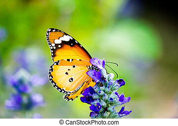 Monarch Butterfly on the Lavender, Thailand