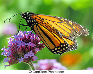 Monarch butterfly on the purple flower