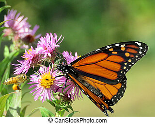 Monarch butterfly on the purple wild aster