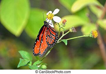 monarch butterfly - beautiful orange monarch butterfly on...