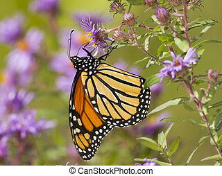 Monarch Butterfly (Danaus plexippus) Obtaining Nectar from New England Aster - Pinery Provincial Park, Ontario, Canada