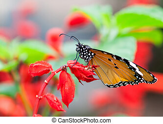 Monarch butterfly resting on a beautiful red flower