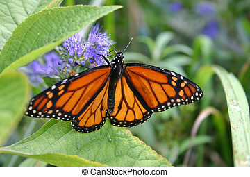 Monarch Butterfly Sipping Nectar - Close up of a monrarch...