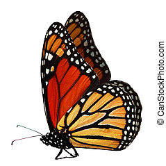 Monarch Butterfly - Single monarch butterfly isolated on...